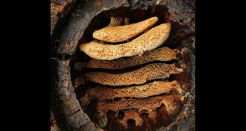 honeycombs in a log