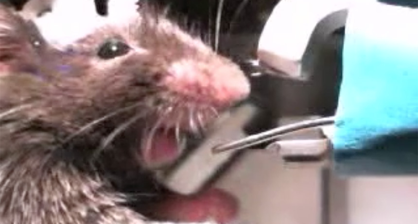 mouse reacting to bitter water