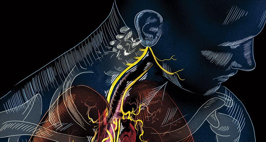 illustration of the vagus nerve