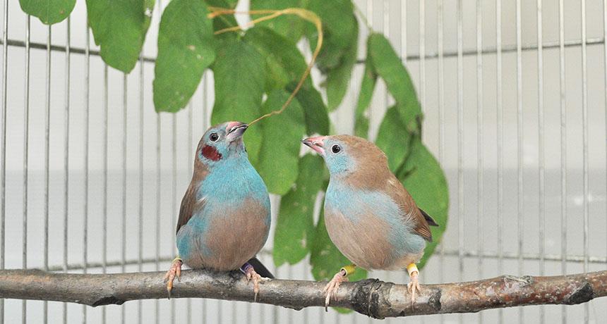 Blue-capped cordon-bleu songbirds