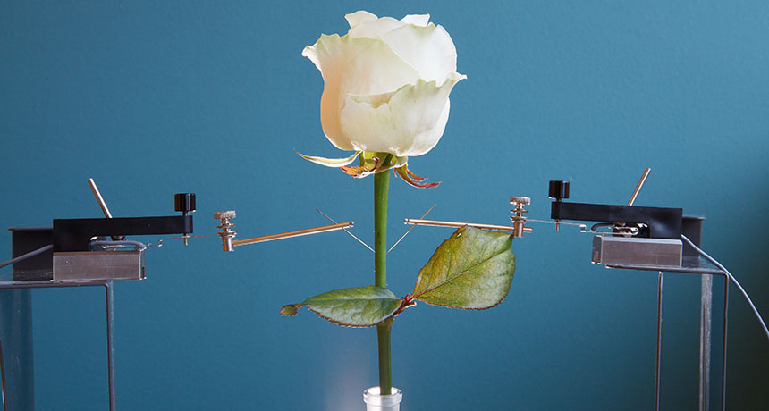 rose with electrodes