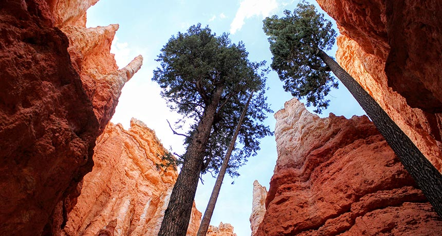 Douglas fir trees in Bryce Canyon