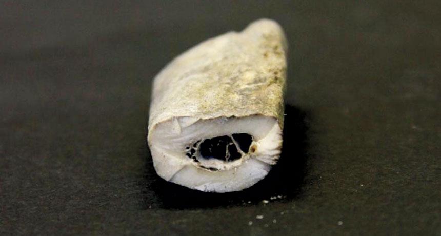 Wolf rib bone