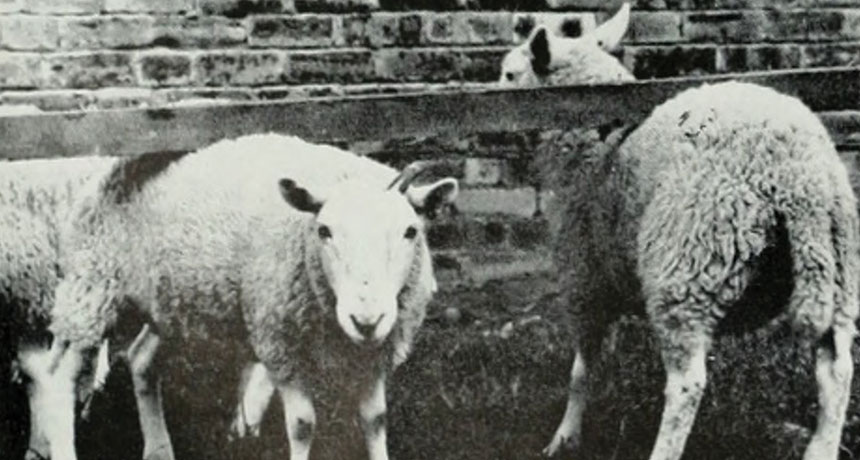 Sheep with scrapie
