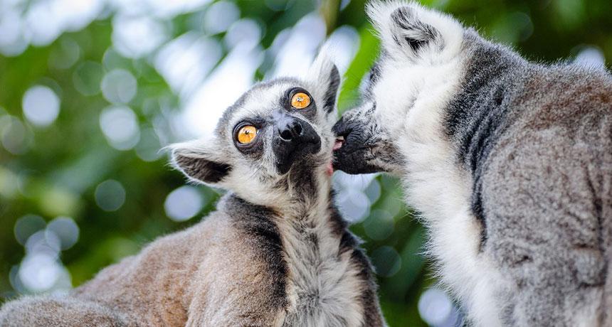 lemurs grooming