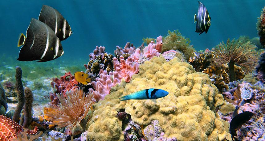 mustard hill corals