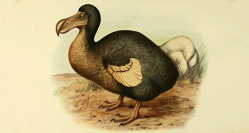 an illustration of a dodo