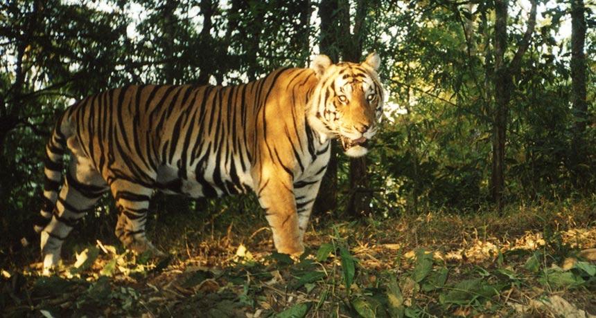 tiger in Thailand's Huai Kha Khaeng Wildlife Sanctuary