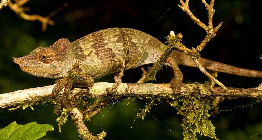 Kinyongia msuyae chameleon