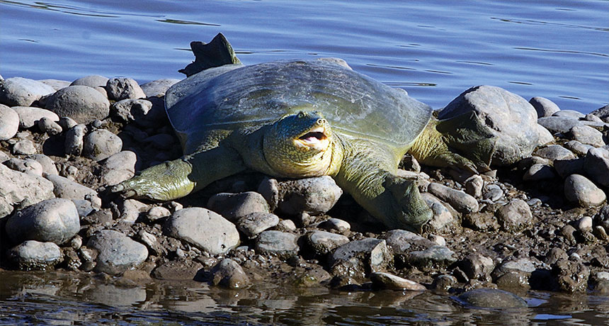 Euphrates soft-shell turtle