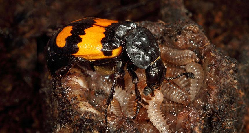 a female burying beetle