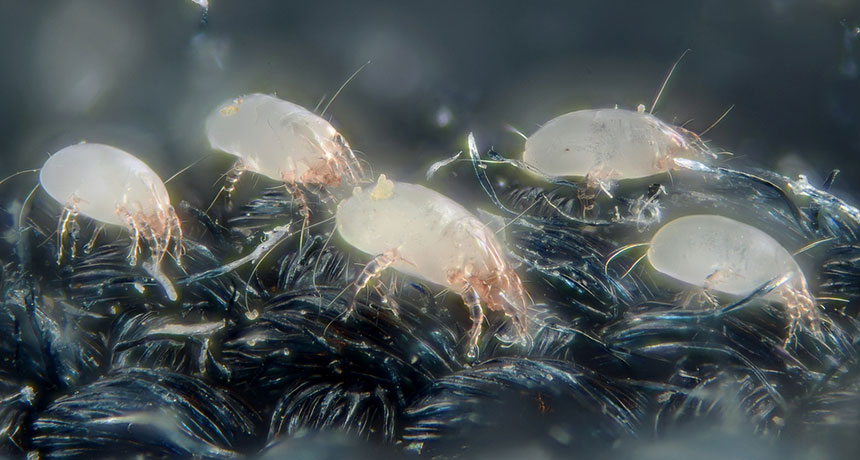 house dust mites, magnified