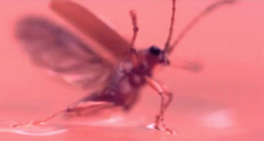 waterlily beetle