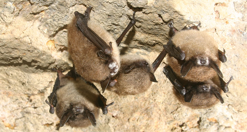 bats in NY with white nose syndrome