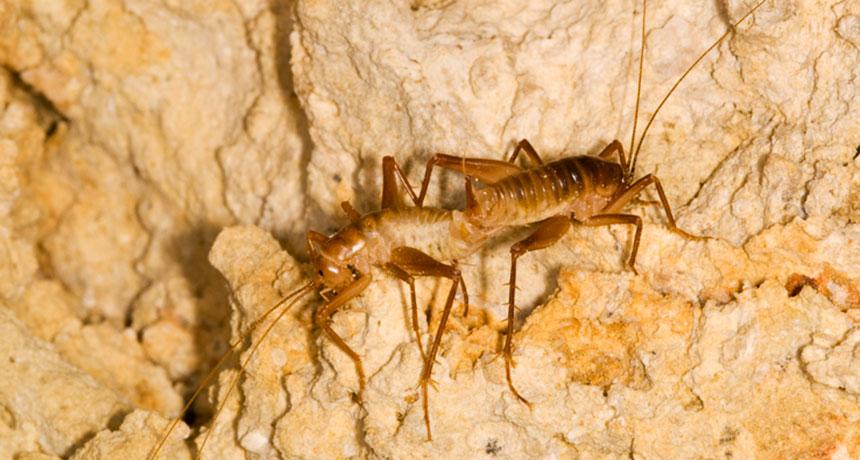 Ceuthophilus cave crickets