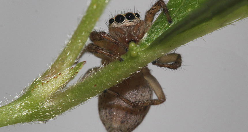 Maevia inclemens jumping spider