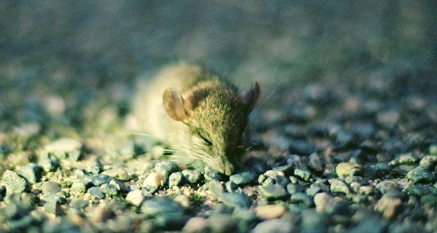 a sleepy mouse