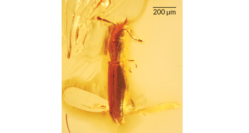 beetle preserved in amber