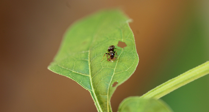 nightshade leaf with goo and ant