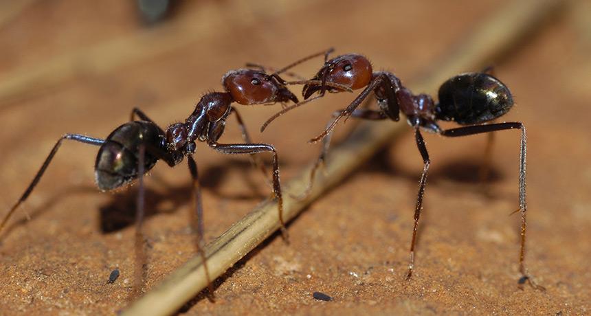 Meat ants, Iridomyrmex purpureus
