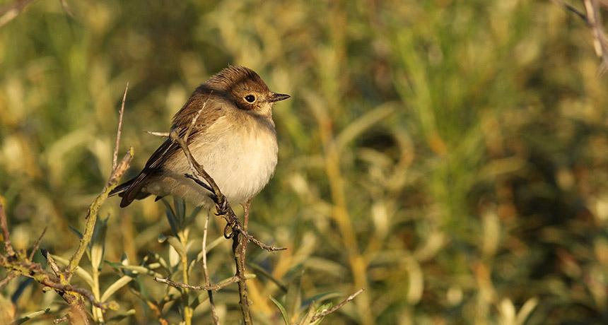 a pied flycatcher