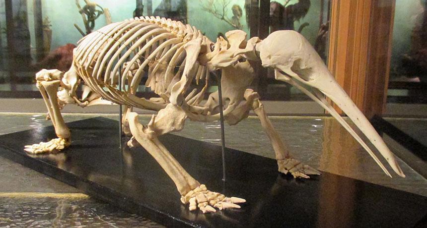 skeleton of a long-beaked echidna