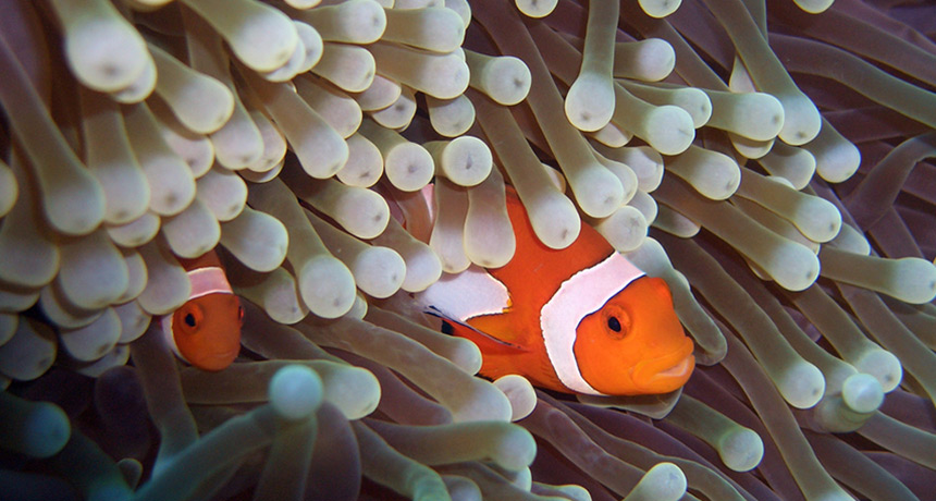two clownfish nested in an anemone
