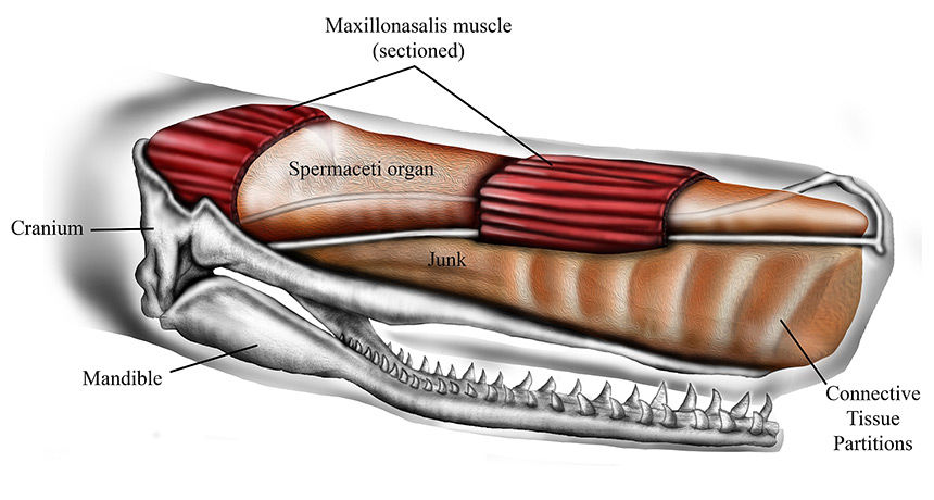 illustration of the anatomy of a whale head