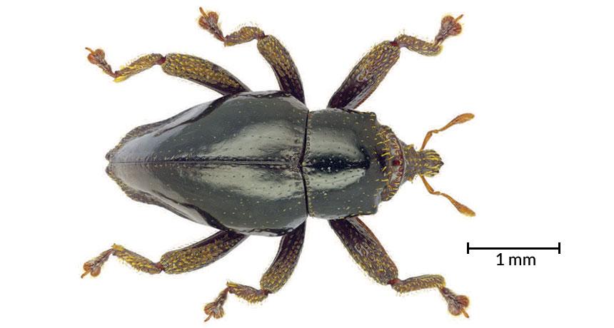 Trigonopterus chewbacca