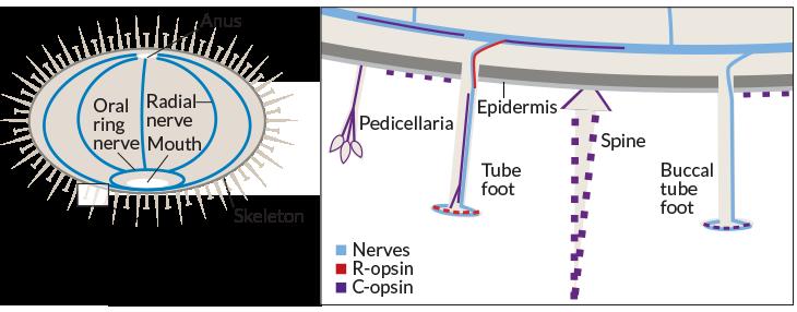 urchin anatomy
