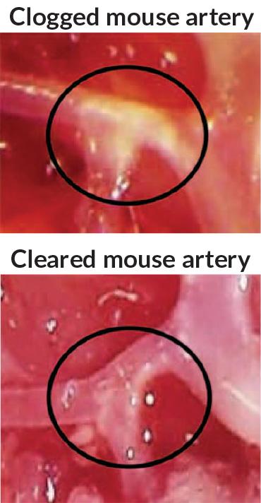 mouse arteries