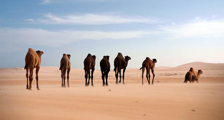 Arabian camels in the desert
