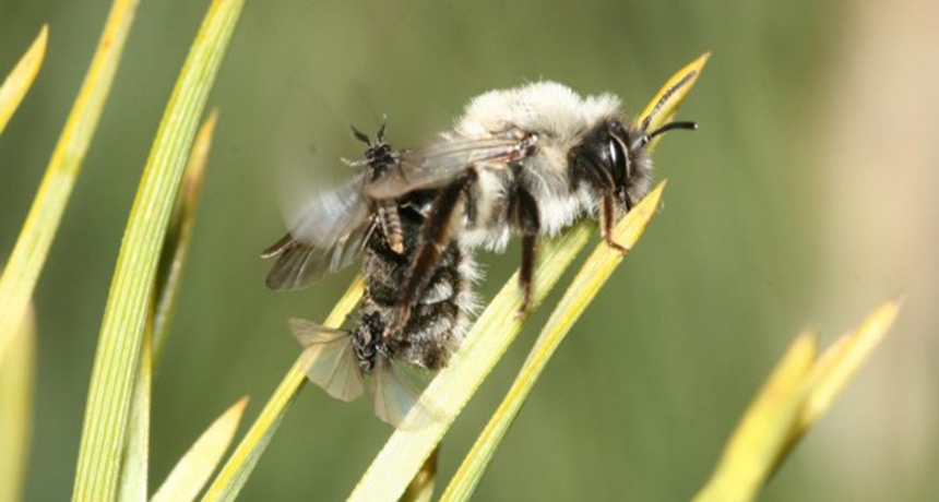 two parasite insects flying around mining bee