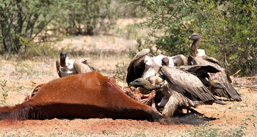 vultures feeding on a dead horse