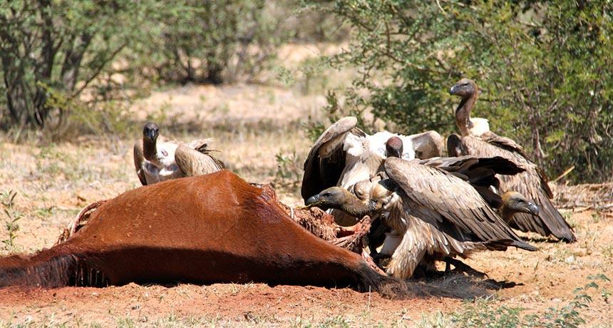 vultures feeding on a dead horse