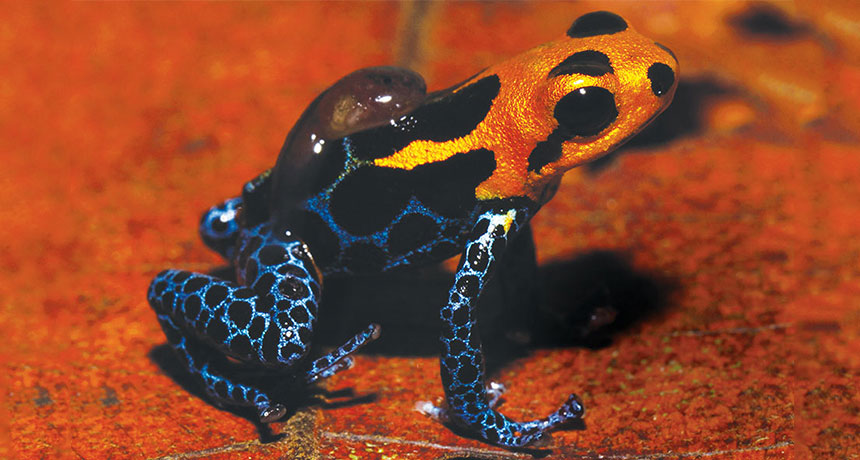 poison mimic frog with tadpole on its back