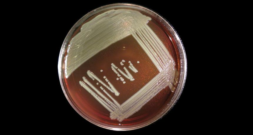 Elizabethkingia bacteria