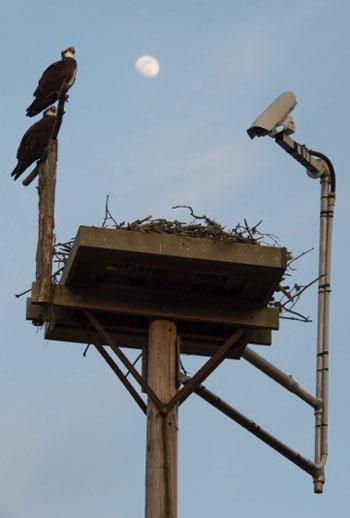 WHOI osprey nest