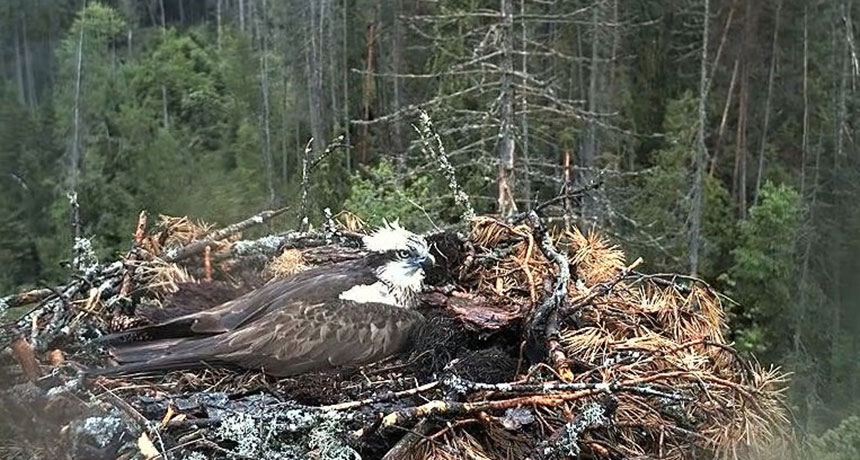 webcam shot of an osprey nest