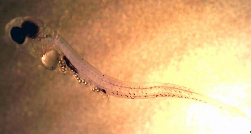 perch larva