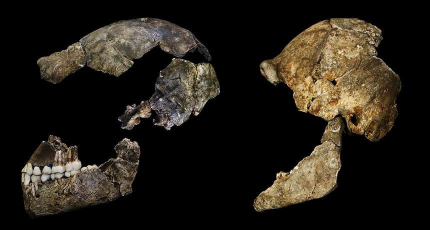 Homo naledi skulls
