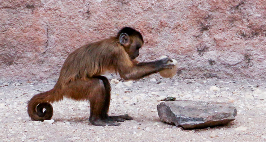 bearded capuchin monkey cracks nut