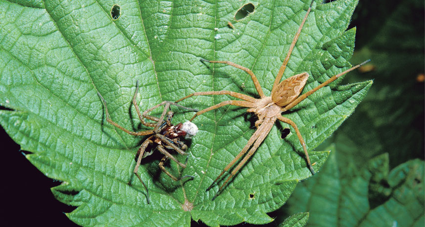 nursery web spiders