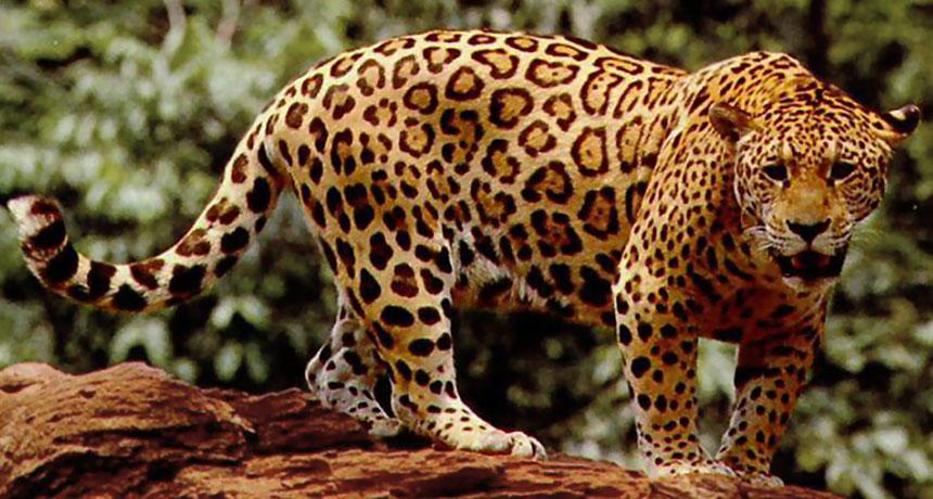 Image result for jaguars