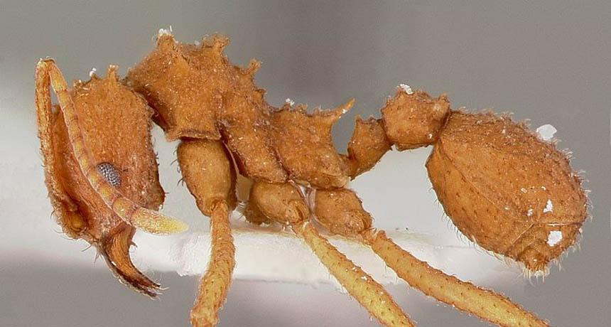 Fungus-gardening ant