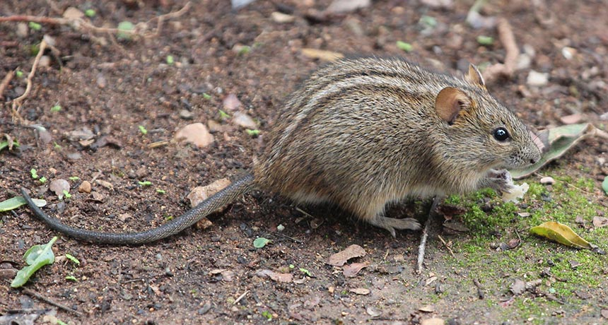 African striped mice