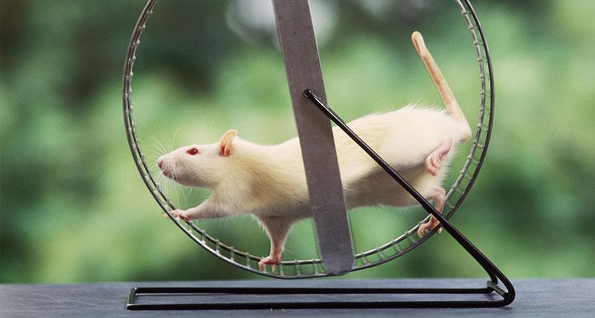 rat running on a wheel