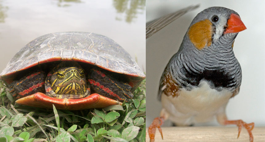 painted turtle and zebra finch