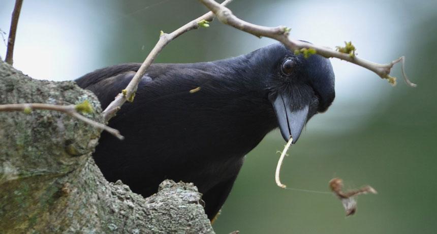 crow bending stick