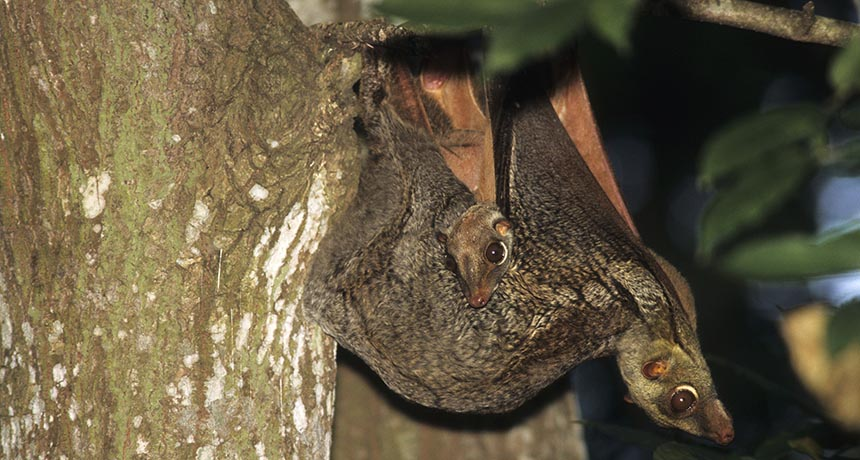 colugo with young in tree